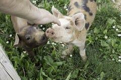 Pig farm Stock Photography
