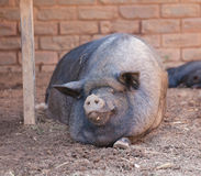 Pig on a farm in the summer. Pig resting on a farm in the summer Stock Images