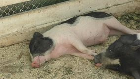 Pig on the farm stock video footage