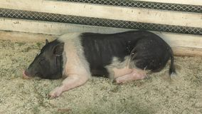 Pig on the farm. Summer day stock video footage