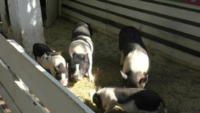 Pig on the farm stock footage