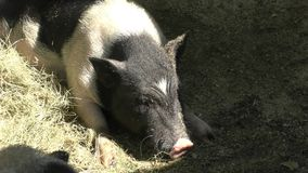 Pig on the farm. Summer day stock video