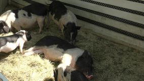 Pig on the farm stock video