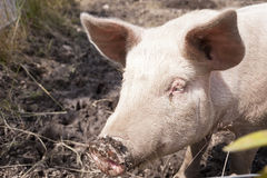 Pig on a Farm Stock Photography
