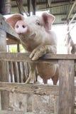 Pig Royalty Free Stock Photo