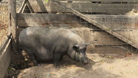 Pig in a farm Royalty Free Stock Photos