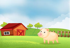 A pig in the farm with a wooden house at the back Stock Image