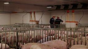 Pig farm workers examining pigs at a pig farm Intensive pig farming
