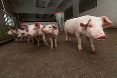 Pig farm Stock Photos
