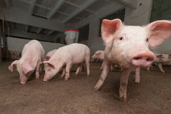 Pig farm Stock Images
