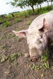 Pig on a farm Stock Image