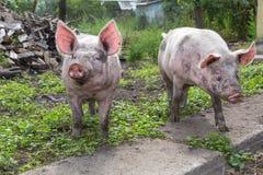 Pig on a farm Stock Photos