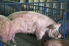 Pig Farming. Intensively farmed pigs in batch pens Royalty Free Stock Photography
