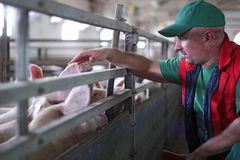 Pig Farming. Farmer at work on a pig farm Royalty Free Stock Photos