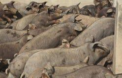 Pig farming 5 Stock Image