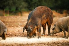 Pig farming Royalty Free Stock Images