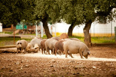 Pig farming. Group of brown pigs are eating a forage Stock Images
