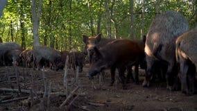 Pig farming. Pigs on farm. Feeding pigs at livestock farm. Pig face. Pig farming. Pigs on farm. Pigs eating fresh feed at cattle farm. Livestock farming. Feeding stock video