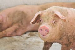 Pig Farming Series 3 Stock Photography