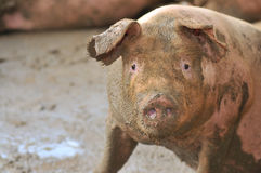 Pig Farming Series 4 Royalty Free Stock Image