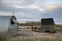 Pig farming on South Downs in Sussex landscape Royalty Free Stock Photography