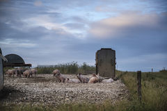 Pig farming on South Downs in Sussex landscape Stock Images