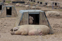 Pig farming Royalty Free Stock Photos