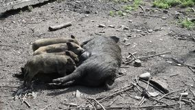 Feeding of pig cubs, little piglets with mother`s milk stock video