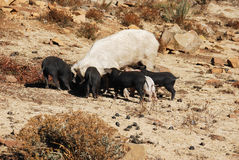 A pig feeding her babies Royalty Free Stock Photo