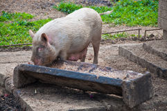 Pig feeding from trough royalty free stock photography