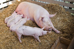 Pig feeds small pink pigs Royalty Free Stock Image