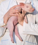 Pig in female hands. Pig who is in female hands Stock Photography