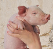 Pig in female hands Stock Photos
