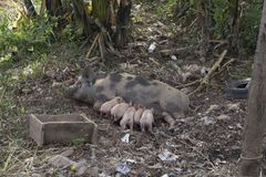 Pig female suckling her piglets on the banks of the Mekong in La royalty free stock photography