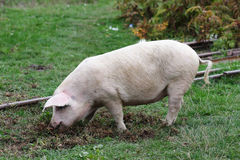 Pig in the field. Big white pig in the field Royalty Free Stock Photo