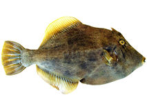 Pig Fish. Isolated on white background stock photo