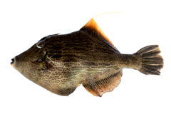 Pig Fish Royalty Free Stock Image