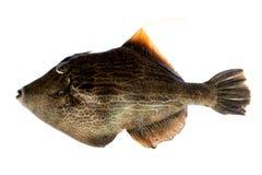Pig Fish Royalty Free Stock Image