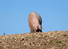 Pig foraging for food in a stony, muddy, field. Pig looking for food in a stony field on a sunny cloudless day with blue skies Stock Photo