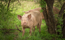 Pig in forest with a dirty mouth - Foraging domestic pig organic Stock Photography