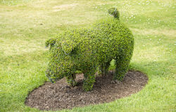 Pig frame topiary Royalty Free Stock Photo