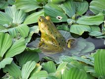 Pig Frog or Lithobates grylio. Pig Frog in the wetlands royalty free stock photos