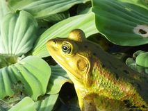 Pig Frog or Lithobates grylio. Pig Frog in the wetlands royalty free stock photography