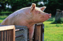 Pig fun. Happy pig in a farm Royalty Free Stock Photo