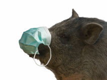 Pig with Gauze bandage - swine flu concept Royalty Free Stock Images