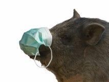 Pig with Gauze bandage - swine flu concept. Pig with blue gauze bandage isolated on white Royalty Free Stock Images