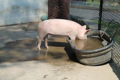 Pig getting a drink of water Royalty Free Stock Photos