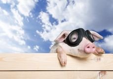 Pig with glasses on wooden fence