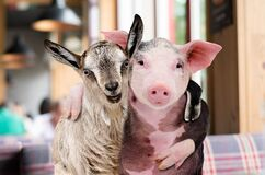 Pig and goat hugging