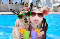 Pig and goat hugging on the pool background. Pig and goat hugging with cocktails in paws on the pool background stock photography